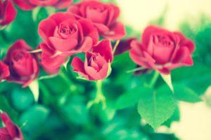 やさしい赤バラ
